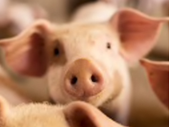 close up picture of pig face within a group of pigs