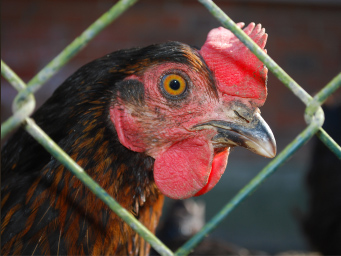 closeup of brown rooster with bright red comb through a  chain link fence